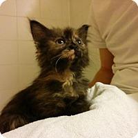 Adopt A Pet :: .Dora the Explorer - Baltimore, MD