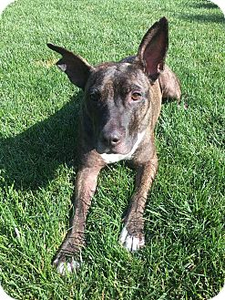 Pit Bull Terrier Mix Dog for adoption in Warrenville, Illinois - Chandler Bing