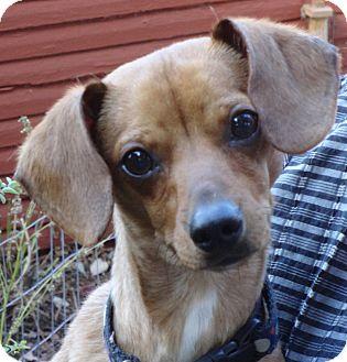Dachshund Puppy for adoption in Portland, Oregon - JIMMY bo HORNE