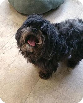 Yorkie, Yorkshire Terrier/Miniature Poodle Mix Dog for adoption in Chicago, Illinois - Poncha