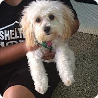 Adopt A Pet :: Kiki - Thousand Oaks, CA