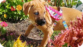 Dachshund Mix Puppy for adoption in Hedgesville, West Virginia - Lilly