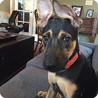 Adopt A Pet :: Samantha - Greeneville, TN