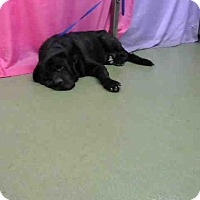 Mastiff/Labrador Retriever Mix Dog for adoption in Beverly Hills, California - Lazaro