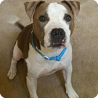 Pit Bull Terrier Mix Dog for adoption in Houston, Texas - Bluebell