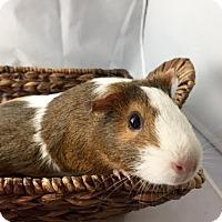 Guinea Pig for adoption in Grand Rapids, Michigan - Tater
