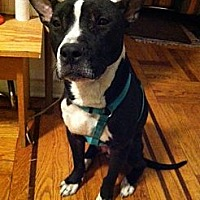 Pit Bull Terrier Mix Dog for adoption in New York, New York - Lil' Times