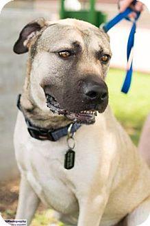 Mastiff Mix Dog for adoption in Santa Fe, Texas - Zeke