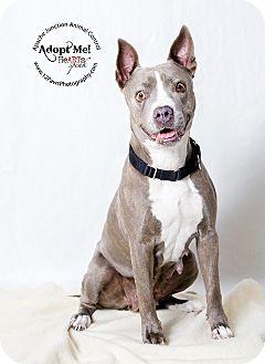 Pit Bull Terrier Mix Dog for adoption in Apache Junction, Arizona - Abilene