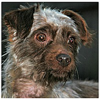 Adopt A Pet :: Dusty - Forked River, NJ