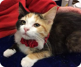 Calico Kitten for adoption in Wilmore, Kentucky - Makena