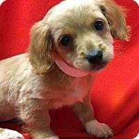 Adopt A Pet :: Havana - Gahanna, OH