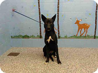 German Shepherd Dog/Labrador Retriever Mix Dog for adoption in San Bernardino, California - URGENT on 1/17 SAN BERNARDINO