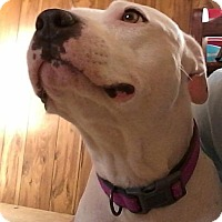 Adopt A Pet :: Pearl - Raleigh, NC