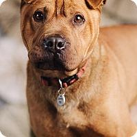Adopt A Pet :: Cheeto - Portland, OR