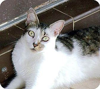 Domestic Shorthair Cat for adoption in Palm City, Florida - Dottie