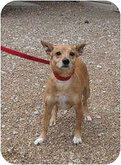 Jack Russell Terrier Dog for adoption in Godfrey, Illinois - Blazer