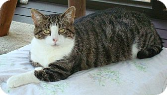 Domestic Shorthair Cat for adoption in Port Republic, Maryland - Gracie