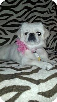 Pekingese Mix Dog for adoption in Las Vegas, Nevada - Sadie