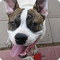 Adopt A Pet :: Lincoln - Phoenix, AZ