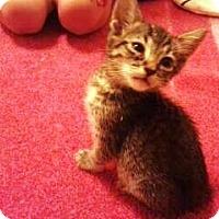 Adopt A Pet :: SqueakSqueak - Phoenix, AZ
