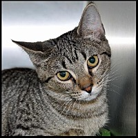 American Shorthair Cat for adoption in Alamogordo, New Mexico - Samone