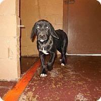 Adopt A Pet :: Jude meet me 12/4 - Manchester, CT