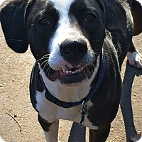 Adopt A Pet :: Charlie in CT - Manchester, CT