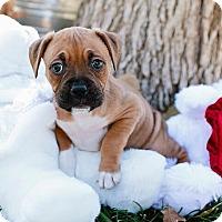 Adopt A Pet :: Cherub - Austin, TX