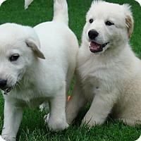 Adopt A Pet :: Gulliver  *Litter of 5 - Tulsa, OK