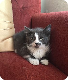 Domestic Mediumhair Kitten for adoption in Old Bridge, New Jersey - Cotton Candy