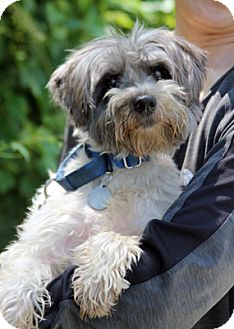Yorkie, Yorkshire Terrier/Poodle (Miniature) Mix Dog for adoption in Harrison, New York - Chen