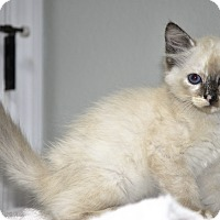 Adopt A Pet :: Mayla (Torti-point Siamese) - New Smyrna Beach, FL
