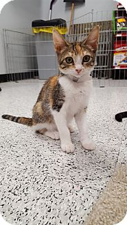 Domestic Shorthair Kitten for adoption in Pasadena, California - Ashley