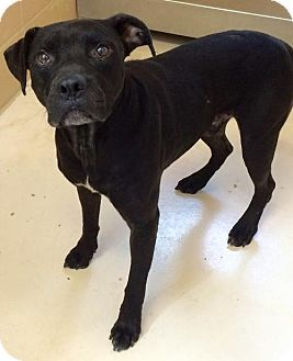 Pit Bull Terrier Mix Dog for adoption in Knoxville, Tennessee - Knot Head