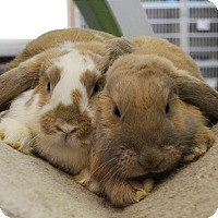 Lop-Eared Mix for adoption in Michigan City, Indiana - Alexandria & Princess