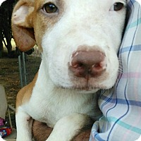 Catahoula Leopard Dog/American Pit Bull Terrier Mix Puppy for adoption in Trenton, New Jersey - Cherokee