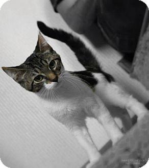 Domestic Shorthair Kitten for adoption in Cedar Rapids, Iowa - Albert