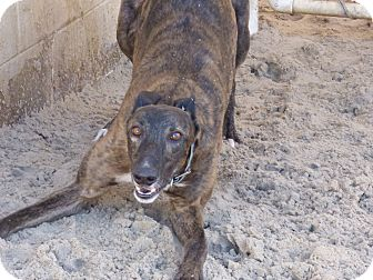 Greyhound Dog for adoption in Aurora, Ohio - Elmo