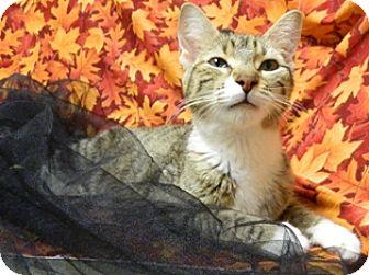 Domestic Shorthair Cat for adoption in Columbus, Nebraska - Lacey