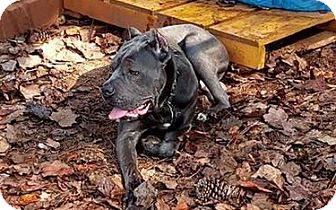 Cane Corso Puppy for adoption in Virginia Beach, Virginia - Enzo