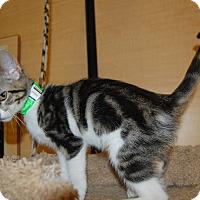 Domestic Shorthair Kitten for adoption in Whittier, California - Lida Mae
