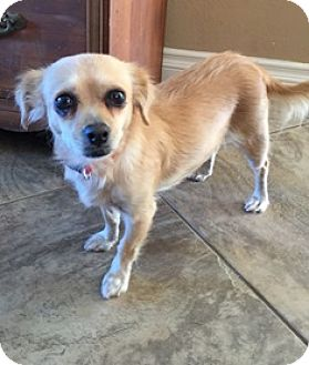 Spaniel (Unknown Type)/Chihuahua Mix Dog for adoption in Orange, California - Sweetpea