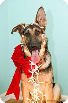 German Shepherd Dog Dog for adoption in New City, New York - Duke