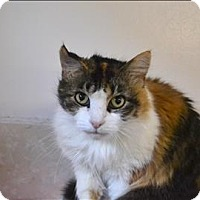 Domestic Longhair Cat for adoption in Delaware, Ohio - Anastasia