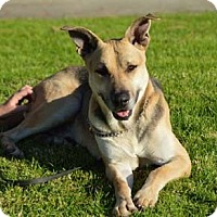 German Shepherd Dog/Pit Bull Terrier Mix Dog for adoption in Irvine, California - Fenway