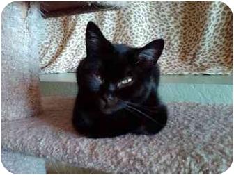 Domestic Shorthair Cat for adoption in Erie, Pennsylvania - Bobbin