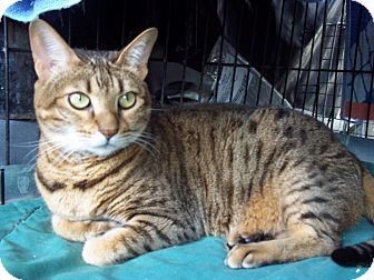 Bengal Cat for adoption in Lantana, Florida - Kit