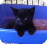 Domestic Shorthair Kitten for adoption in Horsham, Pennsylvania - Domino