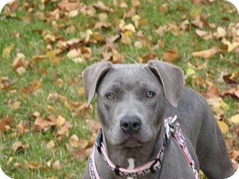 My Good looking dog! Pitbull/Weimaraner Mix. | Animals ... |Weimaraner Lab Pit Mix